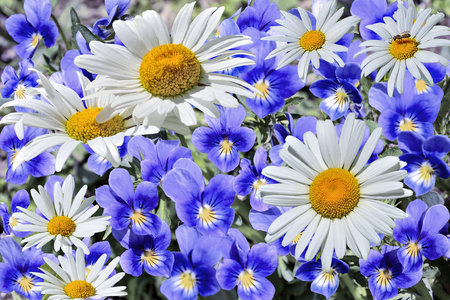Beautiful fresh white chamomiles close up among blue violets - blossoming spring or summer floral background, little insect sit at one of daisies, bright colorful sunny landscape