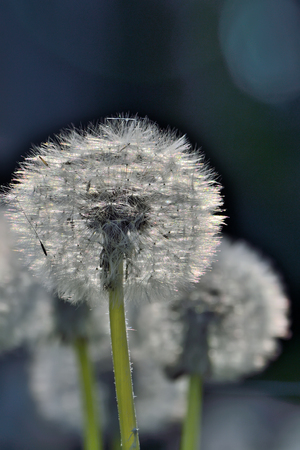 Romantic spring background - a meadow of the white fluffy dandelion flowers with seeds in morning sunlight twinkles - selective focus