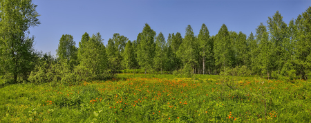 Summer panoramic view of rural landscape with blossoming forest glade or meadow. Wild orange flowers Trollius altaicus, Ranunculaceae flowering on spring field - golden siberian roses
