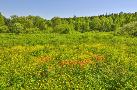 Summer view of rural landscape with blossoming forest glade or meadow. Wild orange flowers Trollius altaicus, Ranunculaceae flowering on spring field - golden siberian roses