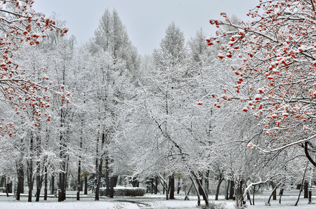 White snow covered city park and rowanberry trees with red berries at foreground - picturesque winter landscape