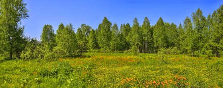 Summer panoramic view of the rural landscape with a blossoming forest glade or meadow. Wild orange flowers Trollius altaicus, Ranunculaceae flowering spring field - golden siberian roses 스톡 콘텐츠