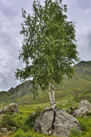 Berkenwortels ontsproten door een steen en splijten een rotsblok. Zomerlandschap in het Altai-gebergte, Rusland - het concept van overleven in ongunstige omstandigheden, vitaliteit en hoop Stockfoto