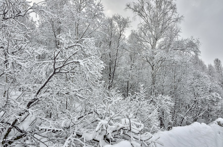 Charm of the winter landscape - black branches of trees covered with fresh fluffy white snow - a fairy tale of the winter forest
