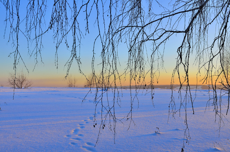 Birch branches on a background of pink wintry sunset landscape. Animal tracks on the snow, blue shadows and pink glares of the sun