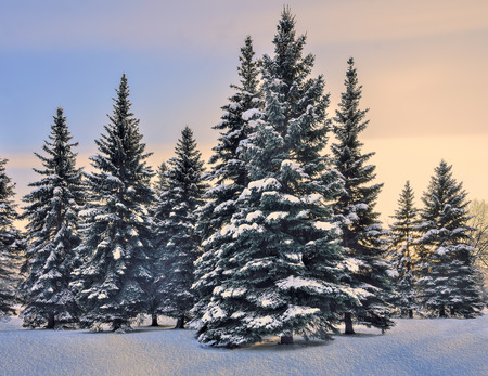 Beautiful winter landscape with group of snow-covered blue fir trees in the city park  or forest on a gentle blue with pink colored sunset or sunrise sky background Stock Photo