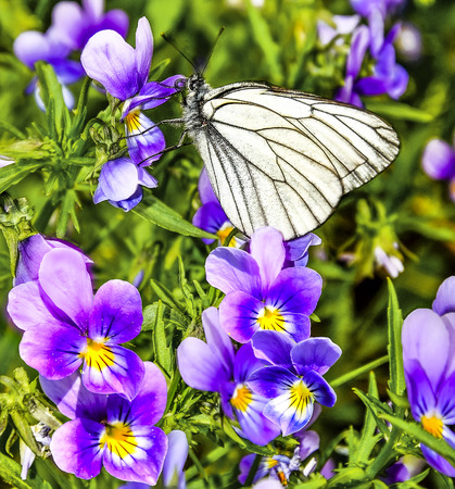 Beautiful white butterfly (Aporia crataegi) on a purple flowers of violets feeding. Spring or summer natural background. Floral macro photography - beauty of nature concept