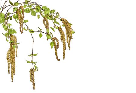 Branches de bouleau avec de jeunes feuilles printanières et boucles d'oreilles en gros plan, isolées sur fond blanc - moment de la floraison et de la formation des graines. Pollen des plantes en fleurs - cause de l'allergie saisonnière Banque d'images