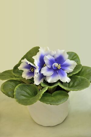 Beautiful blossoming plant of Senpolia in pot with blue and white petals (Humako Inches). Decorative potted houseplant close up on pastel background with space for text