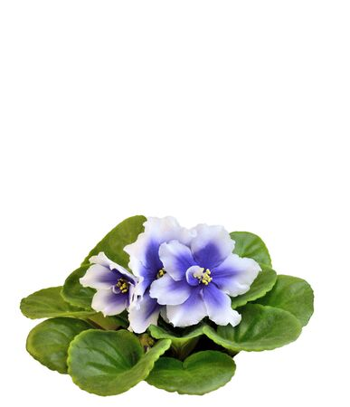 Beautiful blossoming plant of Senpolia with delicate blue and white petals (Humako Inches). Decorative potted houseplant close up on white background isolated with space for text Foto de archivo