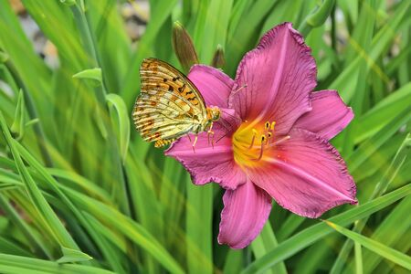 Butterfly Silver-washed fritillary (Argynnis paphia) sitting on a beautiful pink daylily flower with wings folded upwards. Focus on daylily and butterfly in garden on a blurred leaves background Banco de Imagens