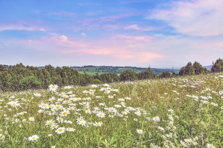 Serene pink summer sunrise over chamomile meadow on slope of hill. At horizon green hills with forests and fields in foggy haze. Idyllic summer landscape with flowering white daisies and other herbs