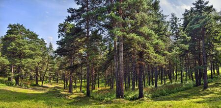 Pine forest  - beautiful summer sunny panoramic landscape. Tall straight pine trees trunks, fluffy green grass carpet, fresh, clean healthy air.  Freshness and coolness of summer coniferous forest Archivio Fotografico - 131013700