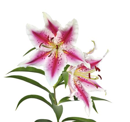 Two elegant spotted pink liliy flowers with white wavy edges of petals close up isolated on a white background Stock Photo