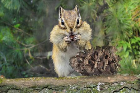 Striped funny chipmunk with full cheeks eating cedar nuts from pine cone on tree trunk and procures food for winter. Portrait of cute rodent close up on blurred forest background. Forest wildlife