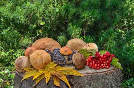 Rich harvest of autumn forest: edible mushrooms, cedar cones, red berries of viburnum, multi-colored fallen leaves. Autumn still life on a cedar stump on background of green coniferous tree branches