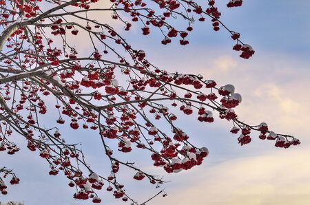 Snow covered rowan tree branches with red berries - winter landscape on sunset or sunrise sky background. Bright decoration of white winter nature and feed for birds. Selective focus Banco de Imagens