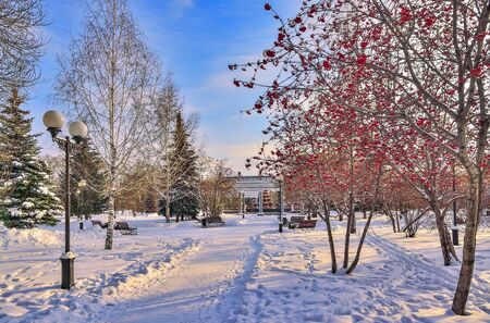 Colorful winter cityscape in evening snowy city park. White snow covered alley with green fir trees and rowan trees with bright red berries. Beauty and freshness of urban winter nature at sunset