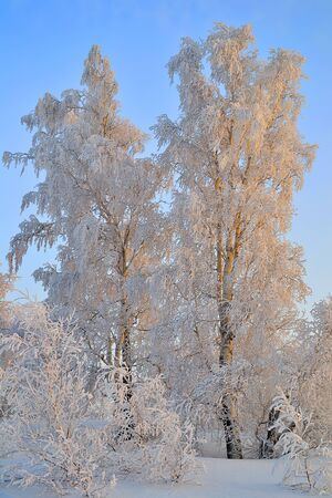Frosty winter sunset in birch grove with hoarfrost covered. Beauty of winter nature - warm colors of sunlight on birch trees with fluffy rime on branches. Fairy tale of russian forest in wintertime landscape