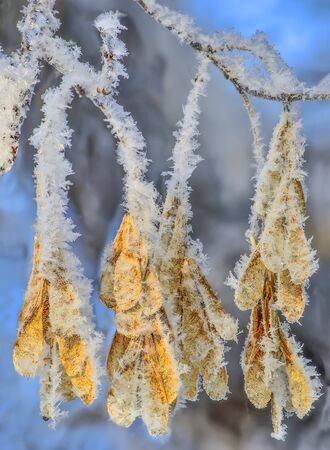 Bunch of dry Maple seeds with fluffy hoarfrost covered close up - detail of winter nature. Natural bright christmas decoration of winter park. Low depth of focus. Beauty of nature concept
