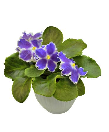 Beautiful blossoming plant of Senpolia with delicate purple and white petals, variety name Rock and Roll. Decorative potted houseplant close up on white background isolated with space for text Stock Photo