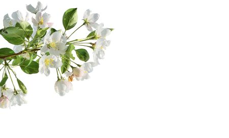 Spring blossoming of apple tree branch on white background isolated. Springtime backdrop, white gentle flowers of blossoming apple tree branch with green leaves, close up. Spring nature detail