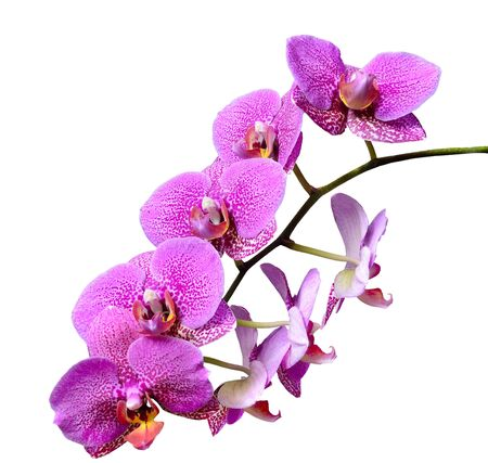 Branch of mauve pink delicate elegant tropical flowers Orchids or Phaleonopsis close up isolated on white background Archivio Fotografico