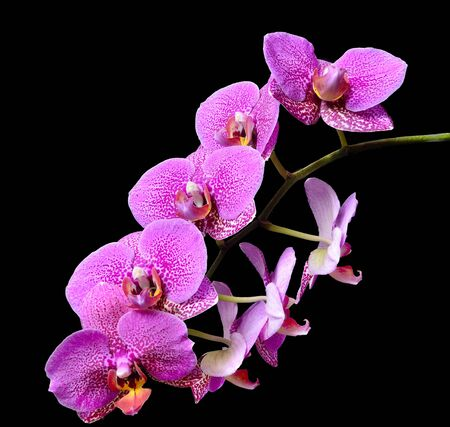 Branch of mauve pink delicate elegant tropical flowers Orchids or Phaleonopsis close up isolated on black background