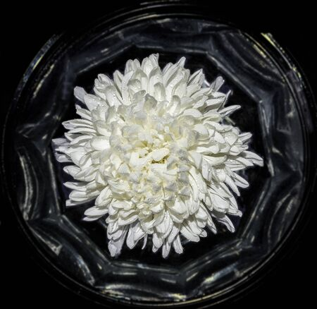Top view of single white chrysanthemum flower with water drops close up in vase, as in frame, on black background. Vintage floral backdrop, radiant freshness of flowering. Beauty of nature Zdjęcie Seryjne