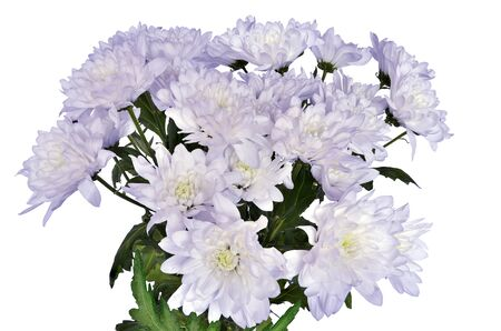 Bouquet of pale lilac chrysanthemum flowers in full blossoming close up, isolated on white background. Delicate floral backdrop with pale violet golden-daisies - gardening, floriculture or festive concept