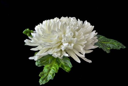 Single white chrysanthemum flower head with wet green leaves and water drops on petals close up on black background lies. Floral elegant pattern, botanical element for design