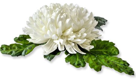 Single white chrysanthemum flower head with wet green leaves close up on white background lies. Floral elegant pattern, botanical element for design