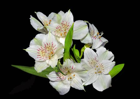 Vintage photo of white alstroemeria flowers close up on black background. Delicate petals of white peruanian lilies - floral design for greeting card, poster, gardening or  floriculture concept