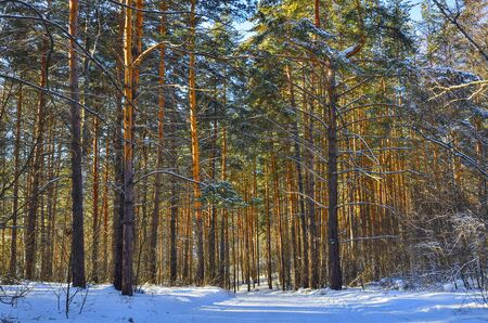 Wintry snow-covered pine forest on sunny day. Healthy frosty air is filled with volatile, bactericidal substances secreted by evergreen conifers. Walk for Prevention and treatment of bacterial diseases