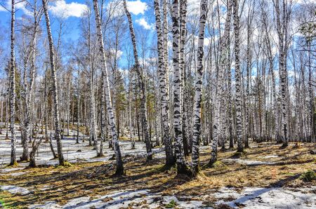 Early spring landscape in the white transparent birch forest with patches of melting snow, yellow dry grass and bright blue sky with white clouds - sunny april day Zdjęcie Seryjne