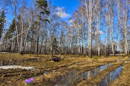 Early spring landscape in white birch forest with patch of melting snow, puddle on yellow dry grass and first spring purple crocus flowers on glade at bright sunny day. Springtime blossom