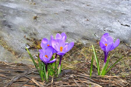 Flowering purple crocus flowers with green leaves close up, on dry grass near melting snow - early spring blossom. First tender spring flowers in nature at warm sunny april day. Space for text
