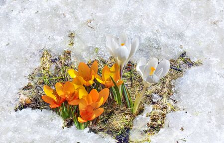 Melting snow around yellow and white crocus flowers with green leaves close up - early spring landscape. Seasonal early spring floral background - blossoming first flowers at bright sunny day Zdjęcie Seryjne