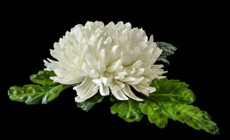 Single white chrysanthemum flower head with wet green leaves close up on black background lies. Floral elegant pattern, botanical element for design
