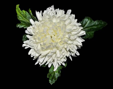 Single white chrysanthemum flower head with wet green leaves and water drops on petals close up on black background lies. Floral elegant pattern, botanical element, top view