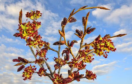 Blooming ash-leaved or american maple (Acer negundo) twigs - bright early spring background at sunny day with blue sky. Spring is time of blossoming trees. Seasonal allergy - pollinosis concept Zdjęcie Seryjne