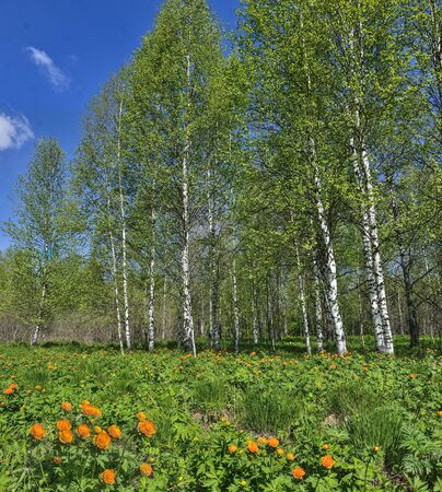 Flowering glade of orange trollius asiaticus or globe-flowers in spring  birch forest. Bright sunny spring landscape with beautiful blossoming wild flowers in birch grove at sunny day