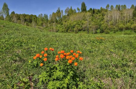 Bright orange wild flowers on the flowering spring meadow . Globe-flowers (Trollius asiaticus) - endangered plants wich need in protection and conservation. Beautiful spring rural landscape  Zdjęcie Seryjne