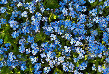 Beautiful blue shallow forget-me-not flowers (Myosotis sylvatica) - on flowerbed in garden - delicate perennial plant for gardening landscape.