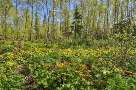 Glade with yellow wild flowers of marsh marigold, kingcup (Caltha palustris) in spring birch forest. Early spring landscape at bright sunny day, Siberia, Russia. Blossoming meadow - beauty of nature