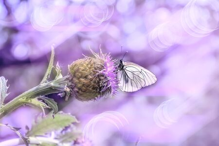 Pink summer morning on the meadow - delicate artistic image. Macro of white butterfly on purple Rhaponticum carthamoides flower - romantic toned spring or summer background with space for text
