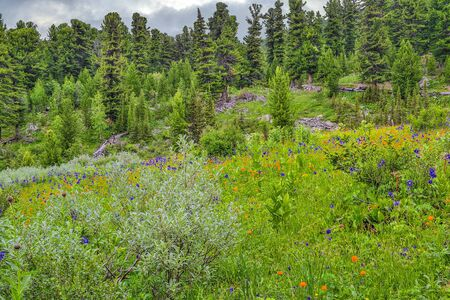 Picturesque summer landscape of blooming alpine meadow with blue aquilegia, orange Trollius asiaticus, buds of endemic medicinal herb Rhapónticum carthamoídes in Altai mountains, Russia