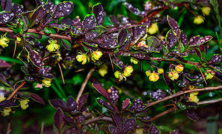 Purple leaves with yellow-green edges of blossoming Berberis thunbergii Coronita  - ornamental plant for garden landscaping. Barberry twig with water drops  on blurred background