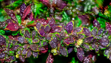 Dark maroon leaves with yellow-green edges of Berberis thunbergii Coronita  - colorful ornamental plant for garden landscaping. Twig of barberry with water drops after rain on blurred background, bokeh Zdjęcie Seryjne