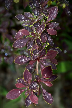 Artistic summer background with wet twig of Berberis thunbergii Coronita  - colorful ornamental plant for garden landscaping. Brilliants of water drops on purple leaves - beauty and freshness of nature Zdjęcie Seryjne